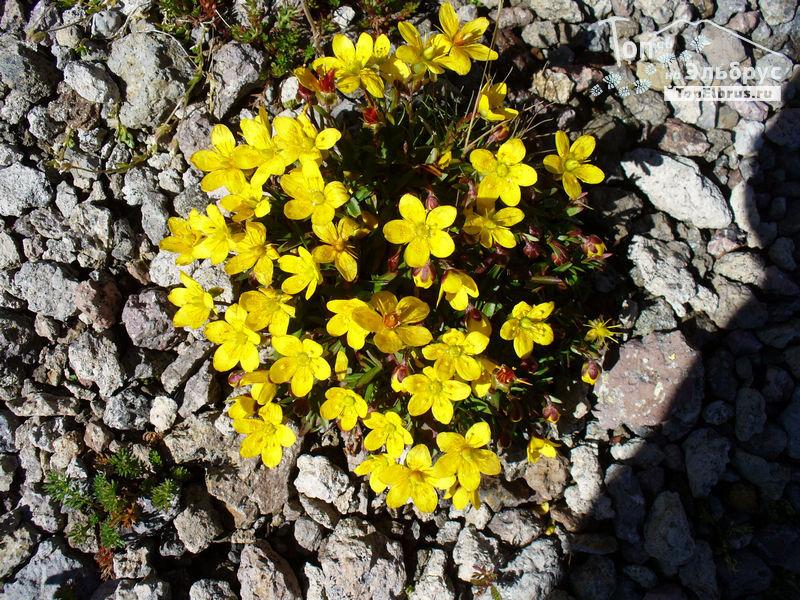 Цветы под Эльбрусом