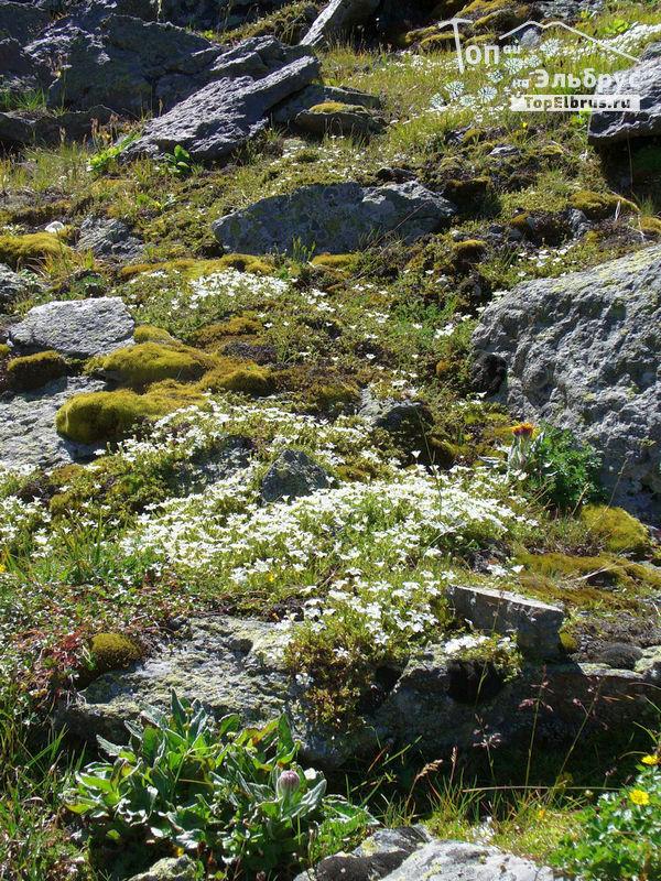 Цветы в Северном Приэльбрусье