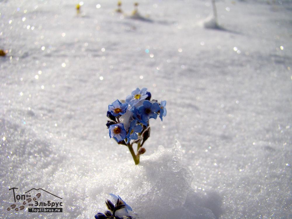 цветы в снегу под Эльбрусом